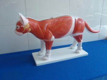 Cat Dissection Model - Buy Dissection Model Of Cat,Plastic Cat Dissection,Anatomical Dissection Of Cat Product on Alibaba.com