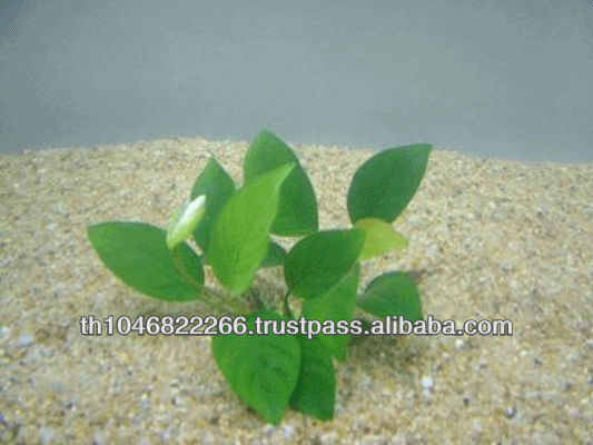 live aquatic plants anubias nana