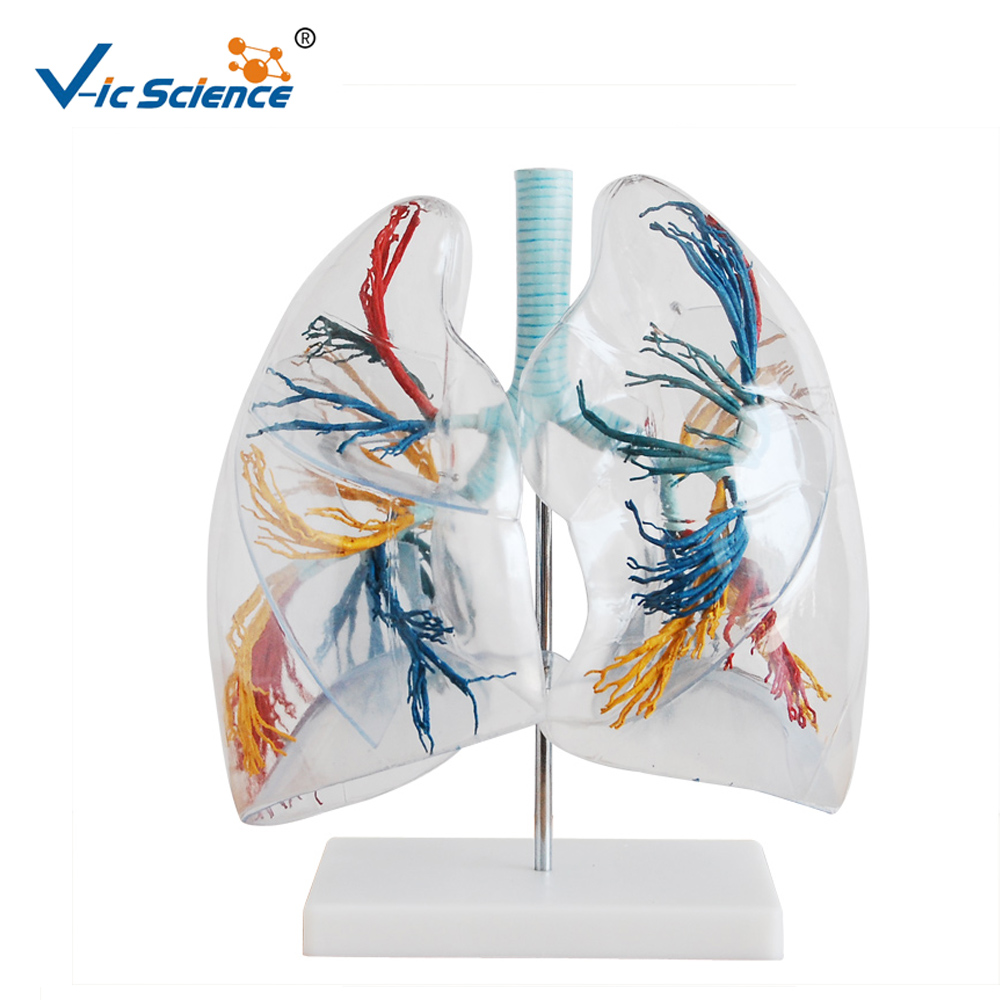 Lung Segments Model, Lung Segments Model Suppliers and Manufacturers ...