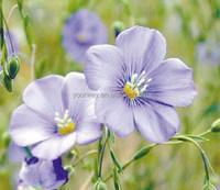 Perennial Flax, Linum, Flower seeds, Herb seed, Vegetalbe seed, Fruit seed, Grass seed