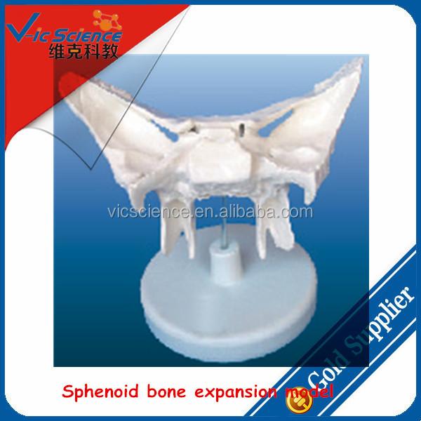 sphenoid bone game – brownshelter, Human Body