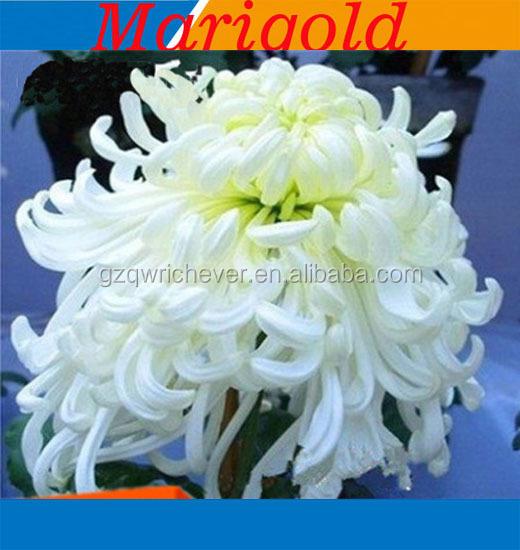 China marigold flower seed china marigold flower seed manufacturers china marigold flower seed china marigold flower seed manufacturers and suppliers on alibaba mightylinksfo