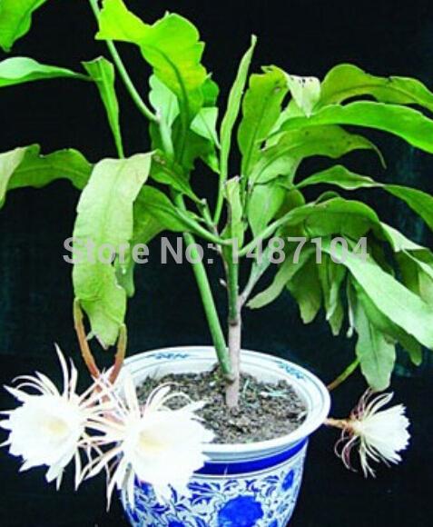 livraison gratuite 50 chinois rares epiphyllum oxypetalum graines bonsa graines de fleurs. Black Bedroom Furniture Sets. Home Design Ideas