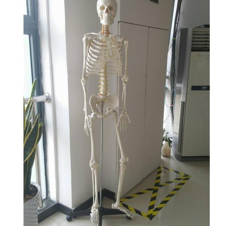 Medical Science Human Body Parts Pvc 180cm Skeleton Anatomy Model