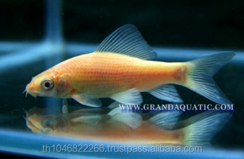 Black Shark Albino Fish Farm For Sale / Aquarium Fish Thailand ...