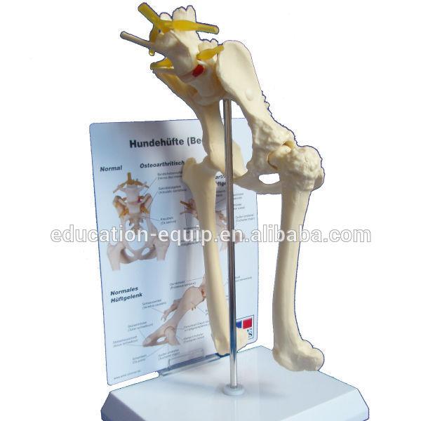 Se62135 Animal Bones Model Of Dog Pelvis Joint Buy Animal Model