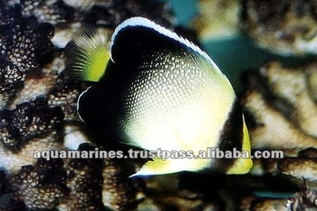 Golden Scaled Angel Fish Live Marine Fish