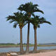 7m artificial coconut palm tree with straight trunk