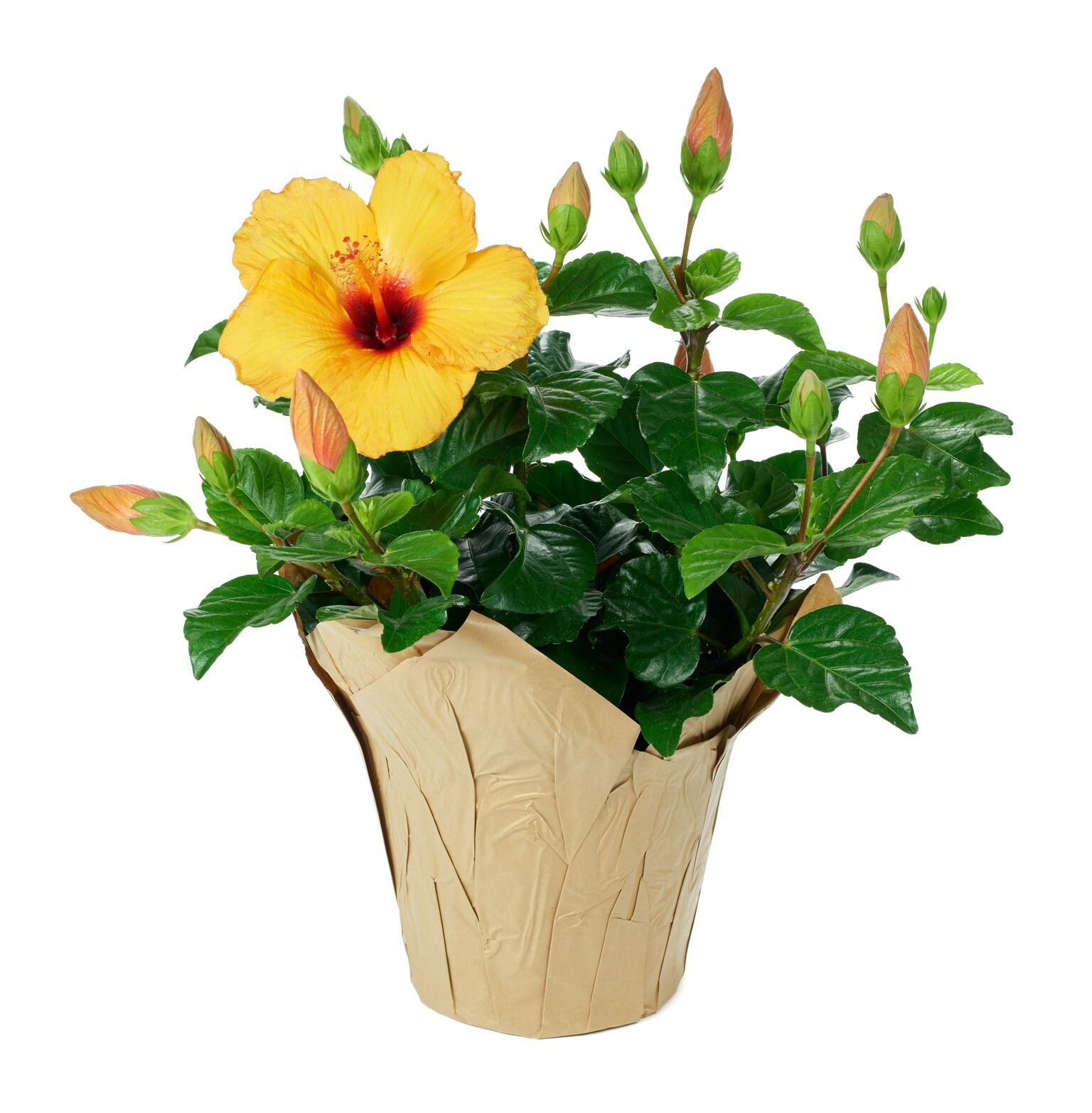 Cheap hibiscus plant care find hibiscus plant care deals on line at get quotations kabloom live plant collection yellow hibiscus plant 15 18 inches tall in izmirmasajfo