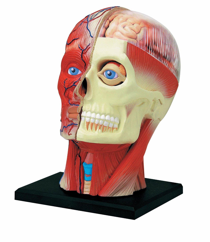 Cheap Human Head Anatomy Find Human Head Anatomy Deals On Line At