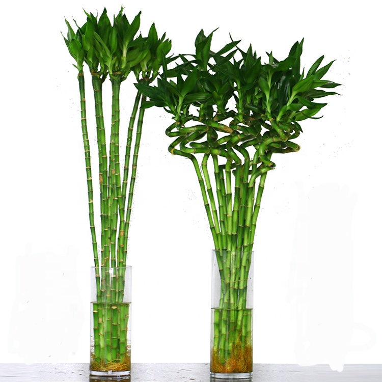 New straight bamboo spiral bamboo plants lucky bamboo tower