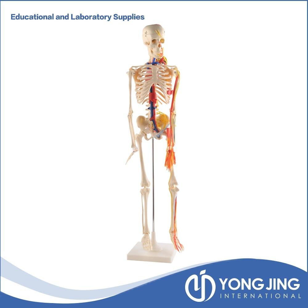85 Cm Menschliches Skelett Modell Mit Nerven,Blutgefäße,Herz - Buy ...