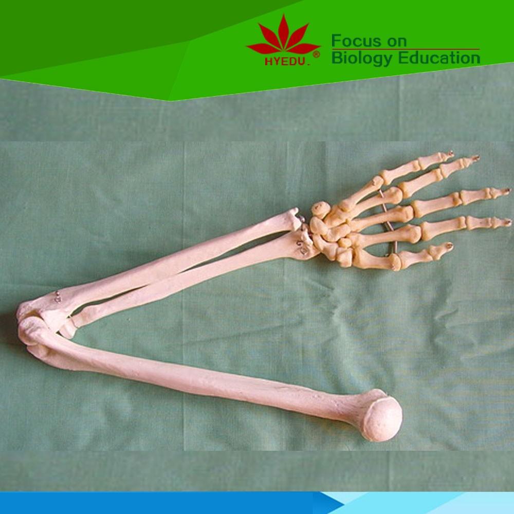 Qualitativ Hochwertige Medizinische Educational Hand Knochen Mit ...