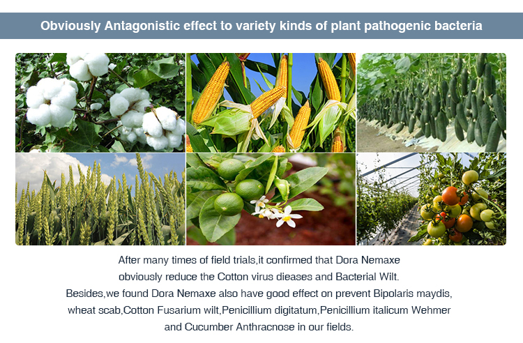 High effective biological pesticide fertilizers and pesticideto to control nematodes