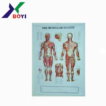 Plástico 3d Carta Anatómica/relieve Pvc Anatomical Chart/cuerpo ...