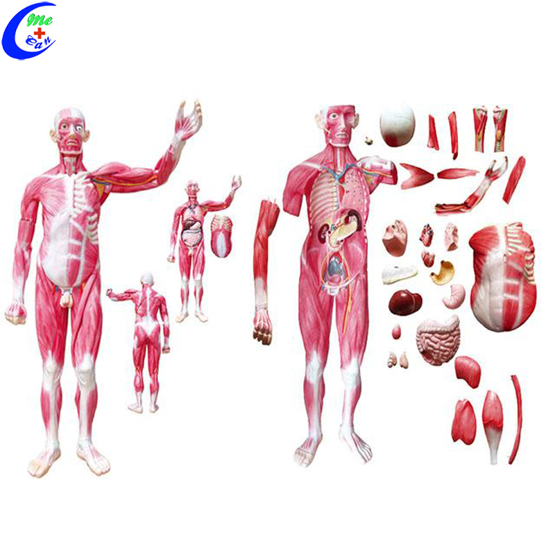 Human Whole Body Muscle Anatomy Education Model Buy Anatomical