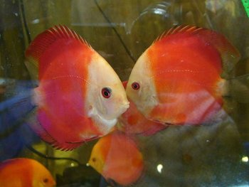 Marlboro red discus buy freshwater fish product on for Discus fish price