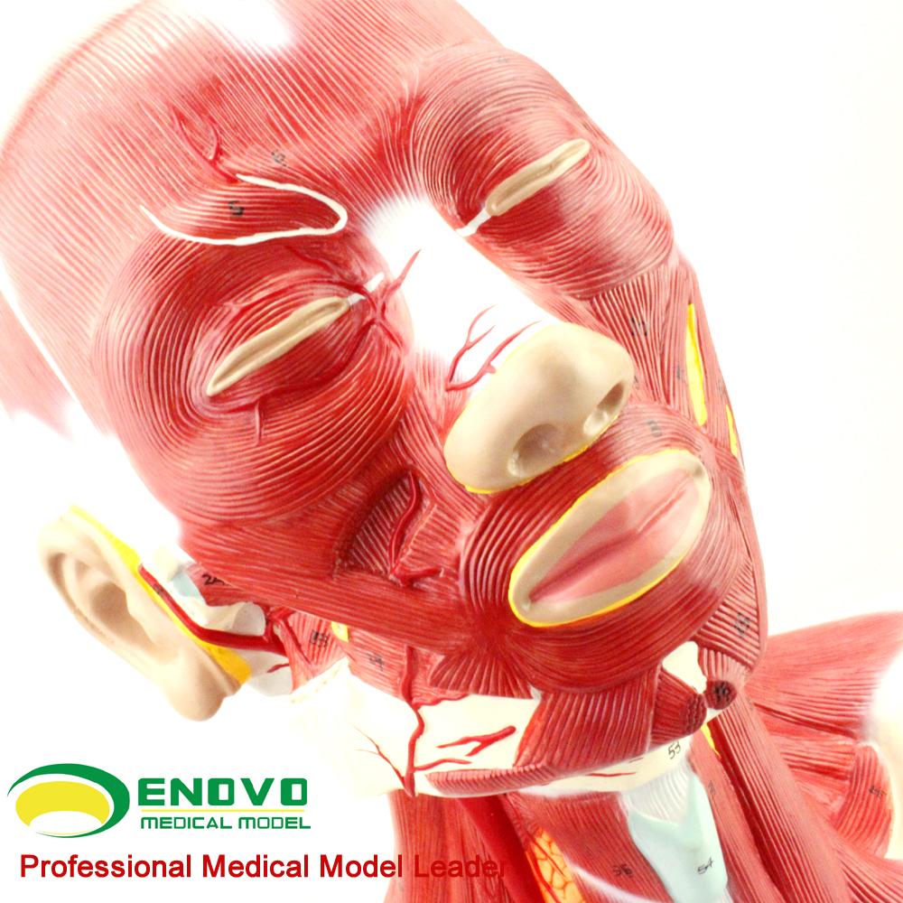 MUSCLE ANATOMIE 12029 Menschlichen Muskel Kopf und Hals ...