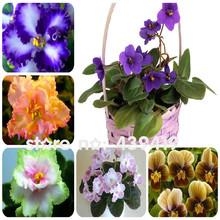50 PCS 24 Colors Violet Seeds Garden Plants Violet Flowers Perennial Herb Matthiola Incana Seed