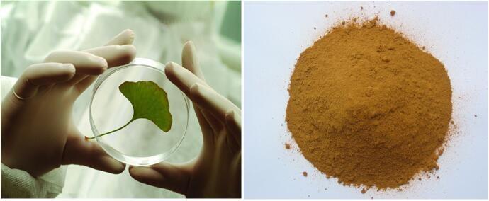 China Medicine Herb Ginkgo Biloba Extract Competitive Price ...