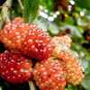 Wholesale Price fresh mulberry and frozen mulberry