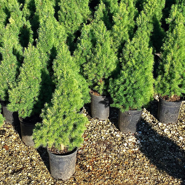 Cheap Alberta Spruce Find Alberta Spruce Deals On Line At