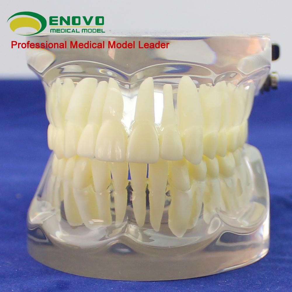 Venta al por mayor anatomia dental dientes-Compre online los mejores ...