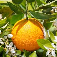 100 Pure Natural Organic Orange Essential Oil