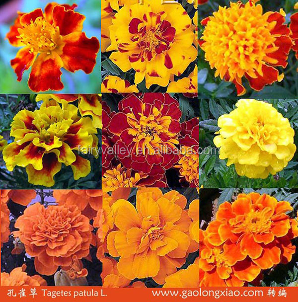 New Crop High Quality Hybrid F1 French Marigold Seeds For Sale
