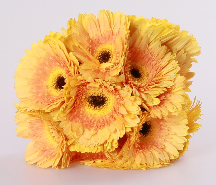natural different types flowers yellow gerbera champagne qingyi