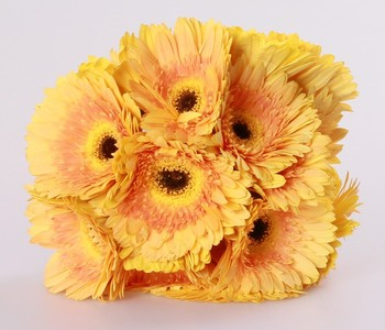 Natural Different Types Flowers Yellow Gerbera Champagne Qingyi Flower Fresh Cut Flowers