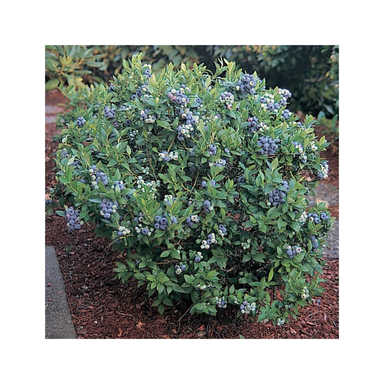 Hirts Top Hat Dwarf Blueberry Plant Bonsai Patio