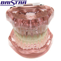 Dental Equipment Teaching Use Plastic Teeth Model ZYR-3004