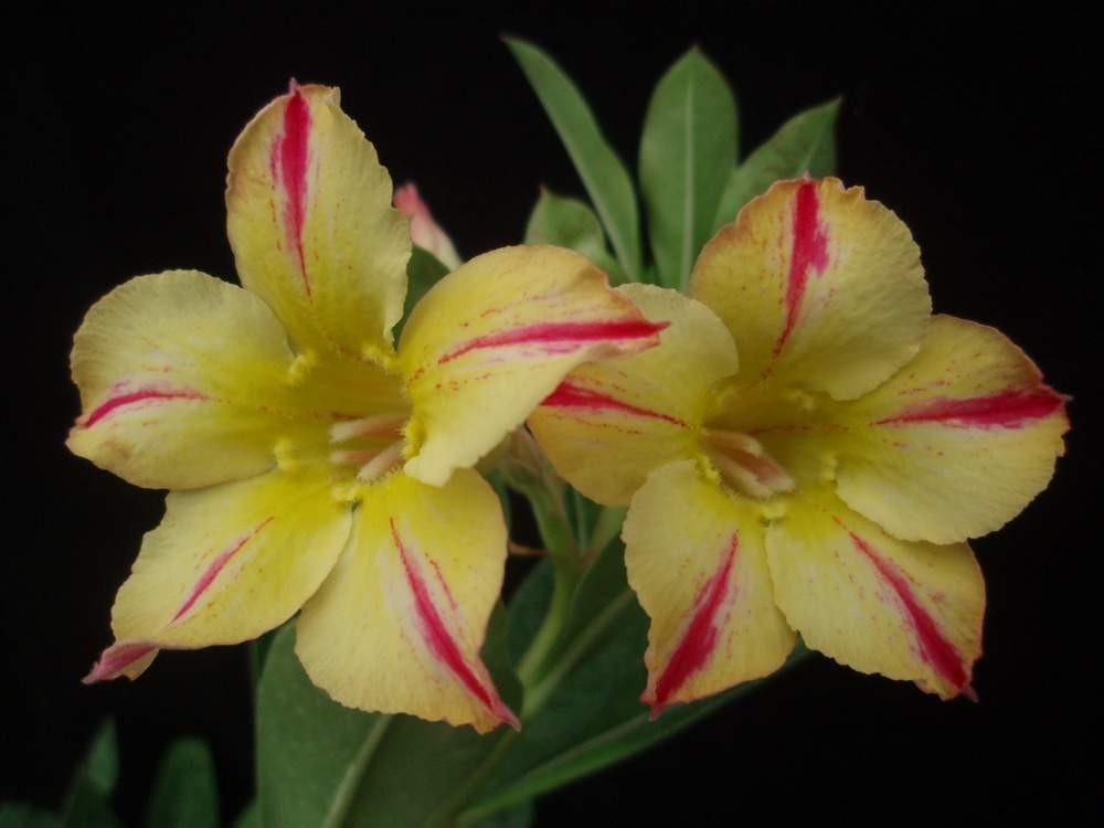 Multi Petals Grafted Adenium Obesum Desert Rose Plant For