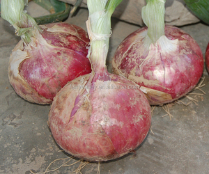 Hybrid onion seeds for growing- Early red preciousness
