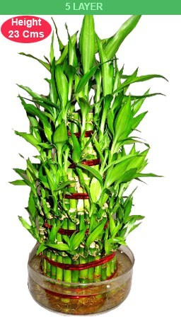 Bamboo Plant 5 Layer