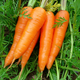 fresh indian carrot carrots vegetable yellow carrot