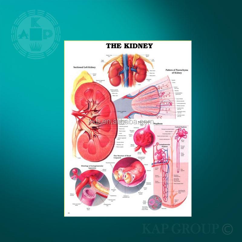 Kunststoff Menschlichen Anatomie Niere 3d-poster Für Den Unterricht ...