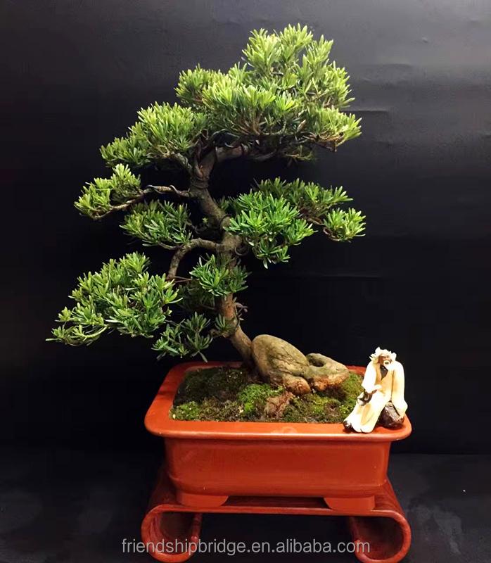 Artistik Miniatur Bonsai Bonsai Yew Cina Jepang Pinus Plum Buddha Pohon Podocarpus Macrophyllus Buy Pohon Podocarpus Macrophyllus Miniatur Cina