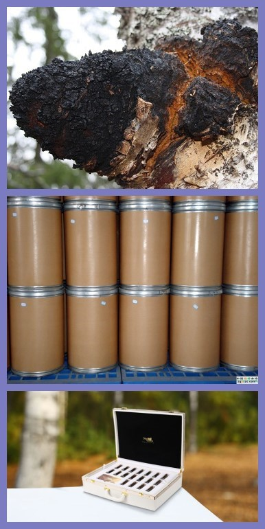 Additive free Raw natural Chaga Mushroom Inonotus obliquus Chaga mushroom extract By GMP