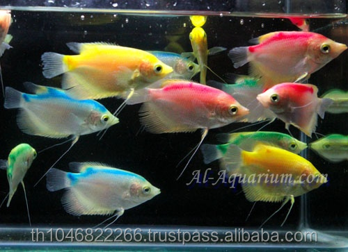 Giant Gourami Mix Color / Aquarium Fish Exporter