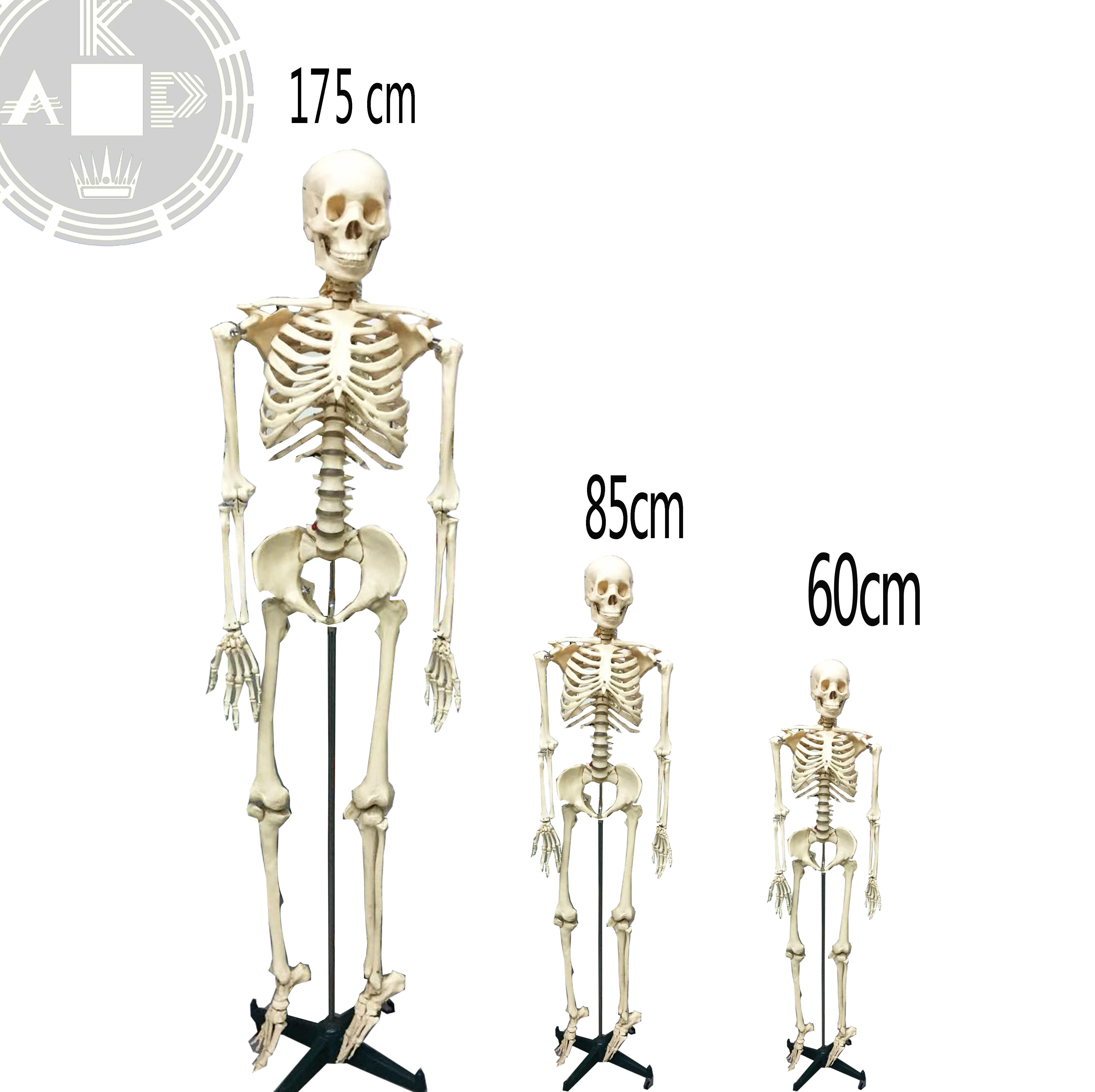 Finden Sie Hohe Qualität Echten Menschlichen Skelett Zum Verkauf ...