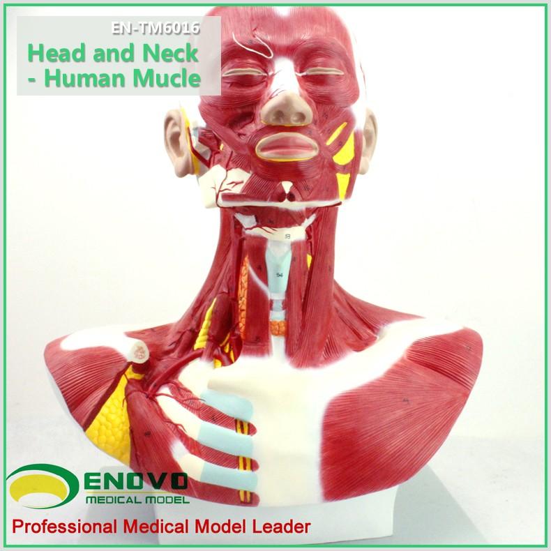 Beste Hals Und Kopf Muskeln Bilder - Menschliche Anatomie Bilder ...