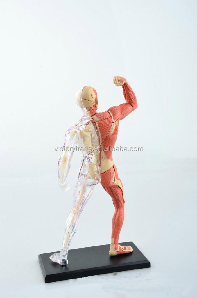 V-hm03 4d Maestro Cuerpo Humano Tejido Anatomía Modelo Del Músculo ...