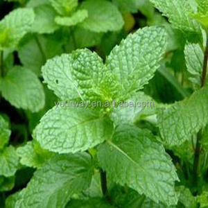 Lemon Mint Mentha Herb seed]
