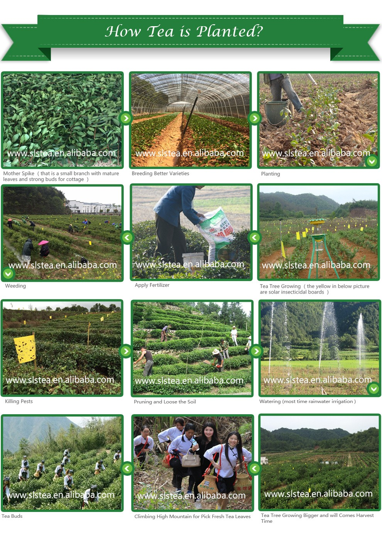 41022 good quality chunmee green tea-popular tea in africa market - 4uTea | 4uTea.com