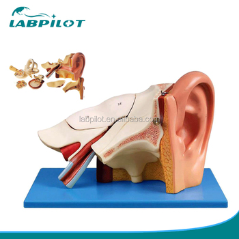 3 Times Enlarged Ear Anatomy Modelteaching Ear Model Buy Anatomy