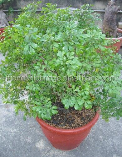 Interior y exterior bonsai jazm n com n murraya for Jazmin planta precio