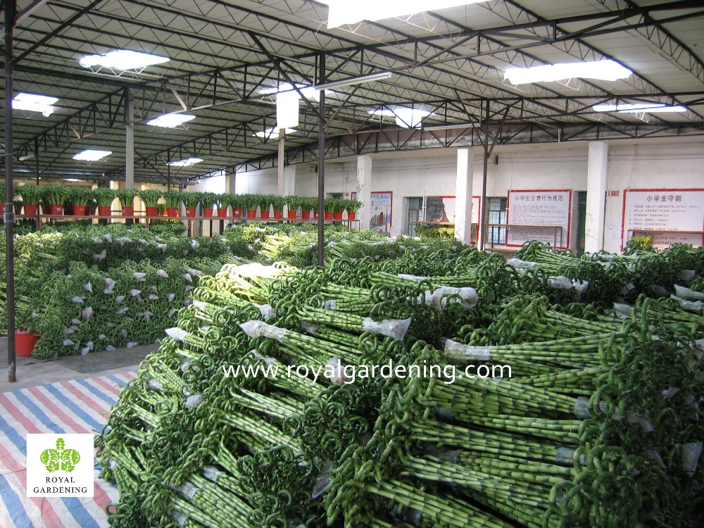 Home Decoration Ornamental Plants Spiral Lucky Bamboo Buy Lucky Bamboo Dracaena Lucky Bamboo