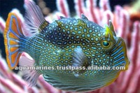 Sri Lanka Exotic Box Fish Tropical Fish